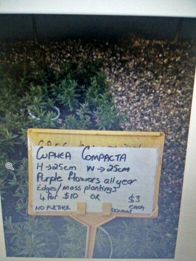 Cuphea compacta
