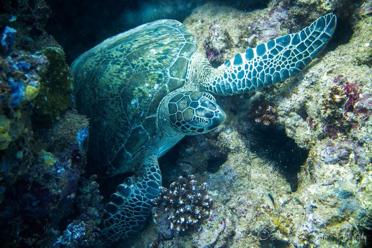 Turtle cleaning station at the Labyrinth dive site. Lighthouse Bay. Ningaloo Reef. Exmouth. Western Australia
