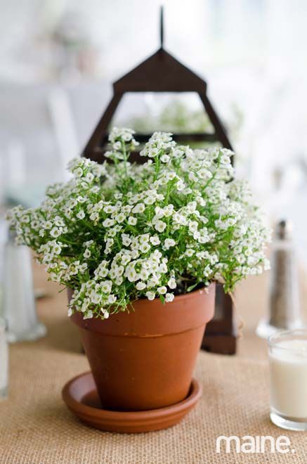 Alyssum Centerpieces.  Whimsical