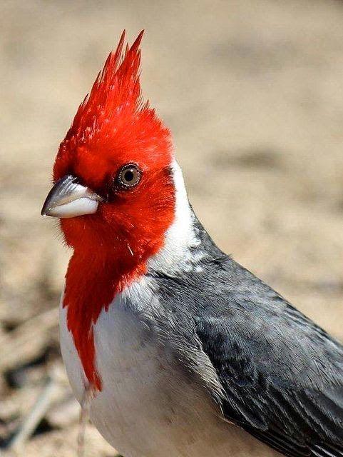 RED-CRESTED CARDINAL - Paroaria coronata . . . N Argentina, Bolivia, S Brazil, Paraguay, Uruguay More