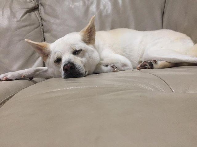 🌞 - - 🐑💤 - - - - 皆様よいお年を✨ - - - #雷に #ガクブル #その後 #疲れて #寝ちゃった #adoptdontshop #adoptnotshop #lovedogs #犬バカ部 #愛犬 #白犬 #いぬら部 #ワンコなしでは生きていけません #わんだフォ#ワンコなしでは生きていけません会 #中型犬 #lifewithdog #whitedog  #instadog #にほんけん #ミックス犬 #mix犬 #lovedog #dogstagram #犬のいる生活 #polainoz  #里親になろう #thyroidcancer #闘病中 #cancerfighter