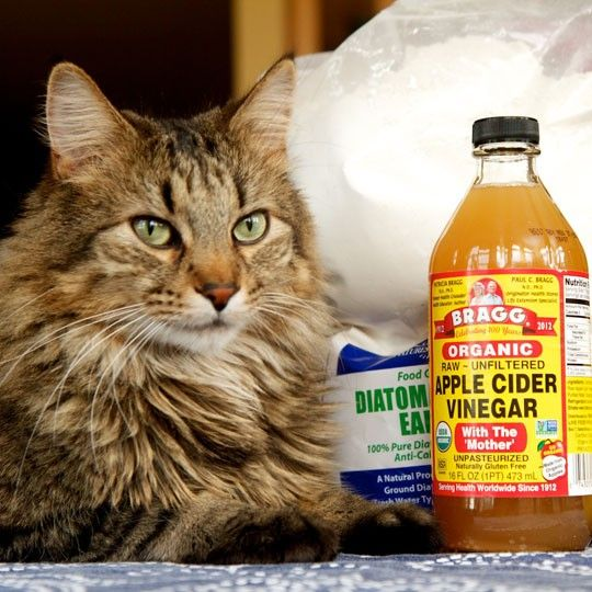 ACV on the cat leave on spray also bathe with ACV leave on 5 mins and soap 5 mins the comb with fine tooth comb or flea comb. come out spray apple cider vinegar again leave on. 5 Natural Ways to Prevent & Get Rid of Fleas on Cats