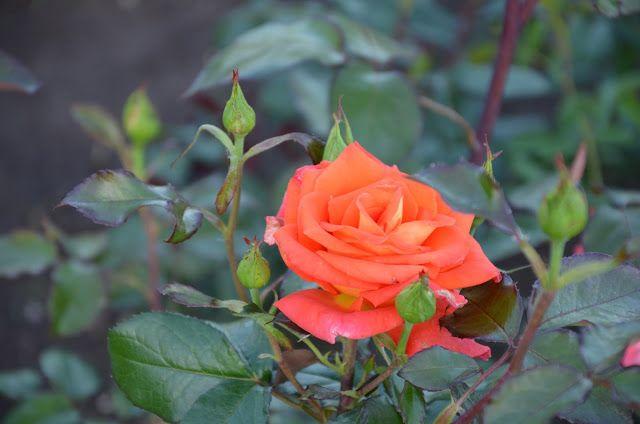 Kroniki Inowrocławskie: Uwaga......nadchodzą róże