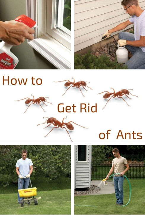 how to get rid of ants - put an end to most ant problems with inexpensive products from the home center or hardware store, and save the expense of hiring an exterminator.