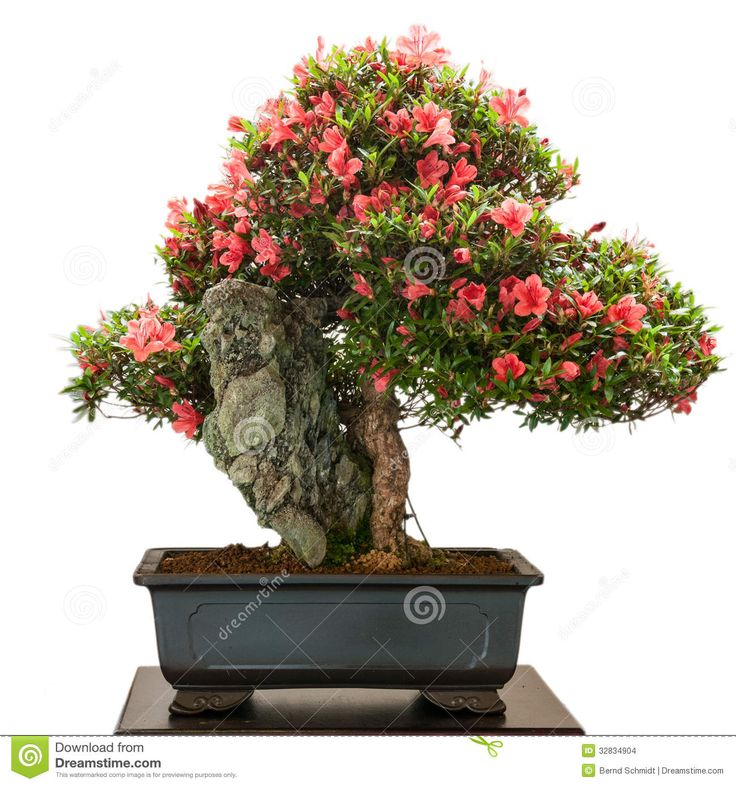 Flowering Bonsai | Rhododendron Indicum Bonsai Tree With Red Flowers Stock Images - Image ...