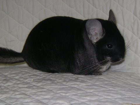 black velvet chinchilla. | Chinchillas | Pinterest