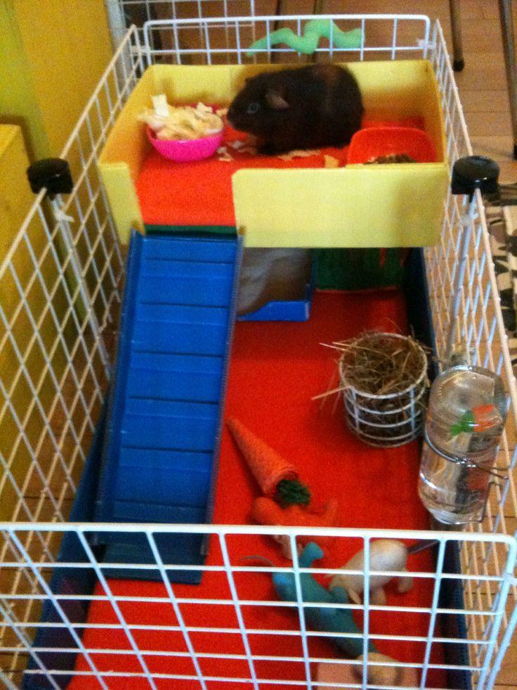 installation cavy cage pour b b cobaye cochon d 39 inde chonchons pinterest. Black Bedroom Furniture Sets. Home Design Ideas