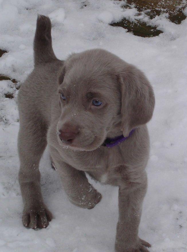 Terrific Photo Labrador Retriever Grey Suggestions Grey Labrador Photo Retriever Suggestions Terrific In 2020 Welpen Labrador Retrievers Weimaraner Welpen