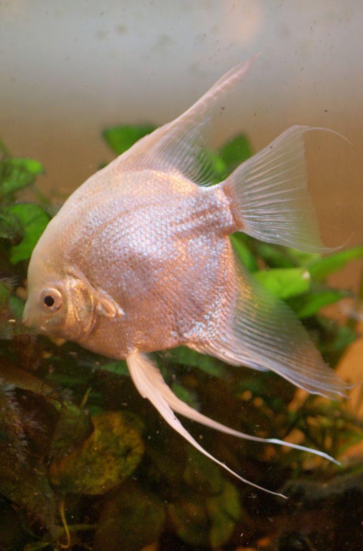 Freshwater fish and chip shop - Platinum Angelfish
