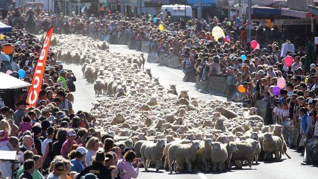Running of the sheep, Main st Te Kuiti, 2010