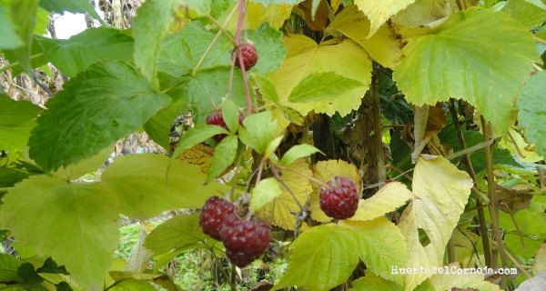 Últimas frambuesas en otoño, noviembre.