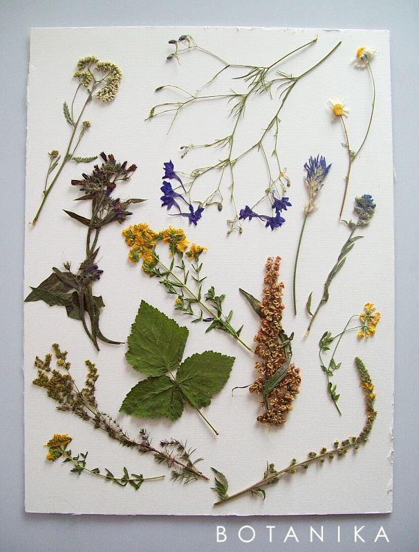 dried & pressed dye plants  https://www.facebook.com/hellobotanika