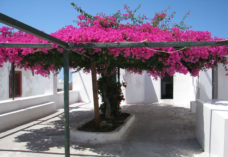 The bougainvillea tree and trellis of my dreams: Oia, Santorini, Greece  I watercolored this tree, or tried to. :)