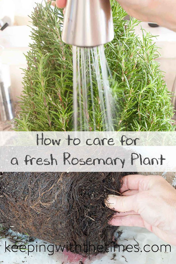 The 25+ best Rosemary plant ideas on Pinterest | Rosemary garden ...