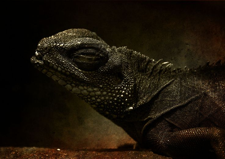 https://flic.kr/p/64qhcF   REPTILE (with some textures)   seen at the ZOO BOCHUM (Tierpark)    The photo of the reptile itself was some kind of boring so I decided to work with textures. The 200mm lens created a blurred background. Great for the textures. I used three textures, some of them masked, and placed them over the B/W reptile. The B/W of the reptile was toned into a specific sepia tone. Additionally I used a light effect to create dark corners.   my most interesting photos on Darckr