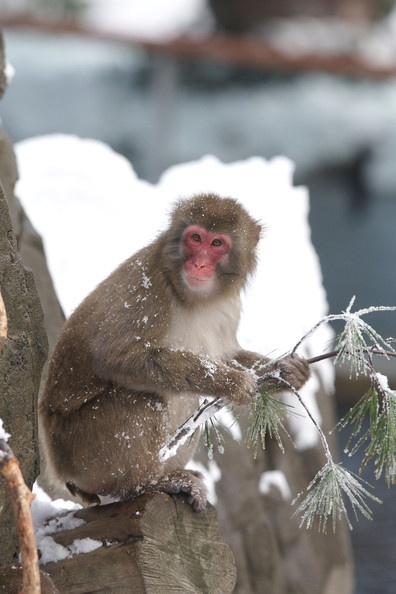 Snow Monkeys at the Central Park Zoo