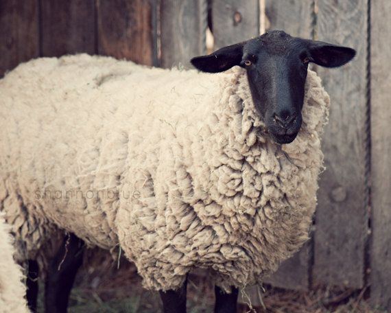 sheep farm rustic photography / have you any wool / 8x10 fine art photo on Etsy, $28.00