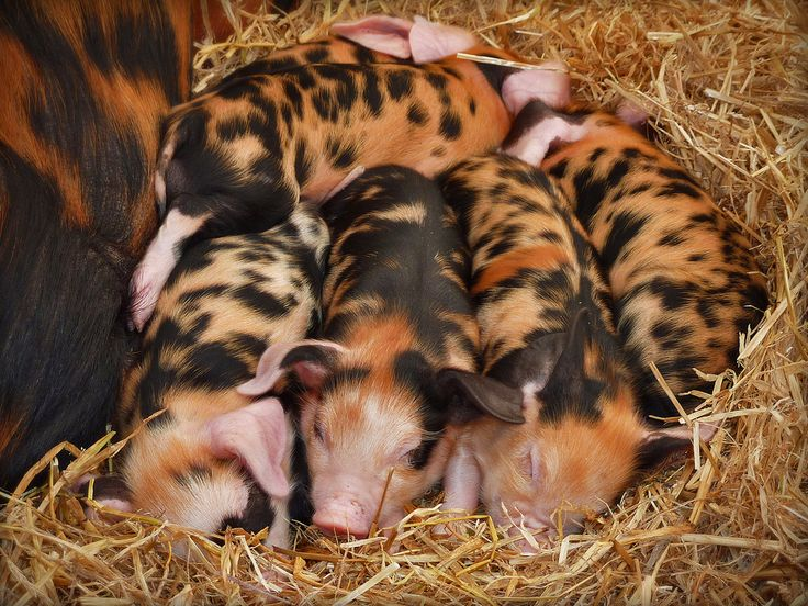 Could not resist the colours of these little piglets. They were obviously comfortable and warm. Any suggestions for an alternative caption? Again - point and shoot quality. I think they are Oxford Sandy and Black piglets.