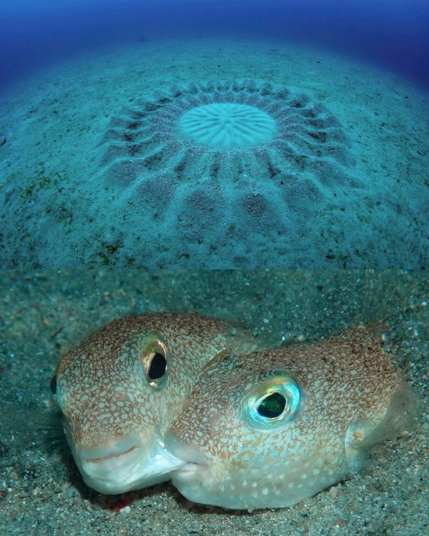 Circle nests like this are created by a newly discovered pufferfish, Torquigener albomaculosus.  The male shapes the nest to attract a female.  After mating, the female lays her eggs in the nest.