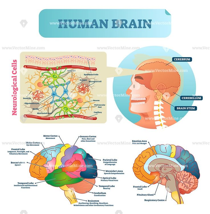 Brain anatomical labeled diagram vector illustration in ...