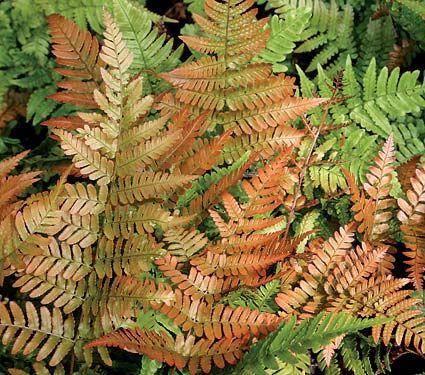 "Japanese Shield Fern – Dryopteris erythrosora 'Brilliance' zone 5-9, part shade, 18""w x 24""t also called Autumn Fern"