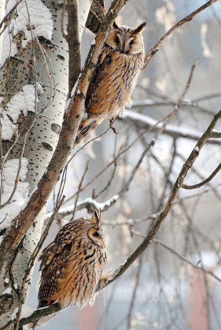 *owls in winter