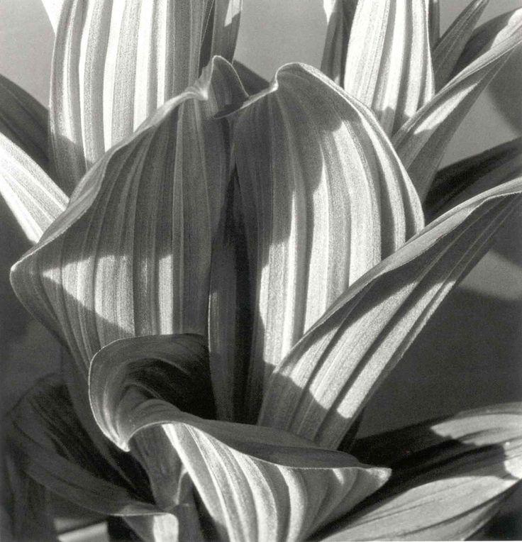 imogen cunningham  shape, texture