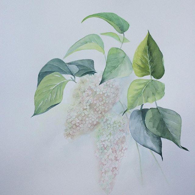 Белая сирень для #ботанический_баттл #бой_без_правил . Я так рада , что есть такие потрясающие художественные проекты . Спасибо. #botanicalillustration #instaday #insta #instatag #watercolor #aquarello #aquarelle #акварель #сирень #сирень🌸 #ботаническаяживопись #ботаническаяиллюстрация #ботанические_артвыходные .
