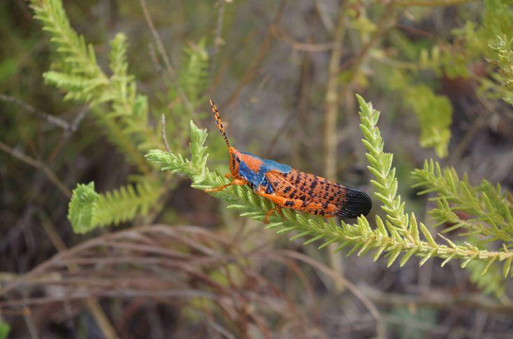 Grasshopper #kakaduforme