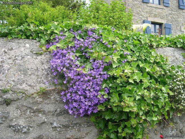 Campanula portenschlagiana = Campanula muralis, campanule des murailles