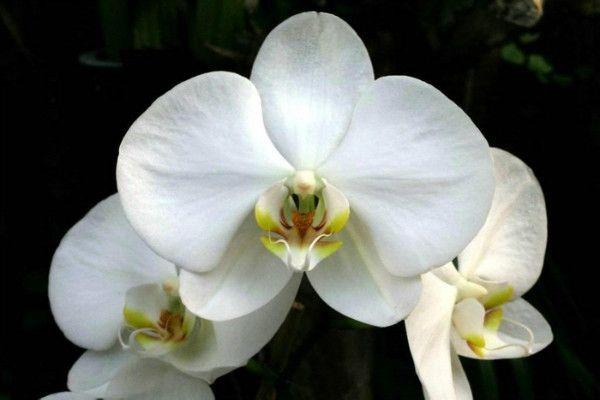 Como replantar orquidea-phalaenopsis-