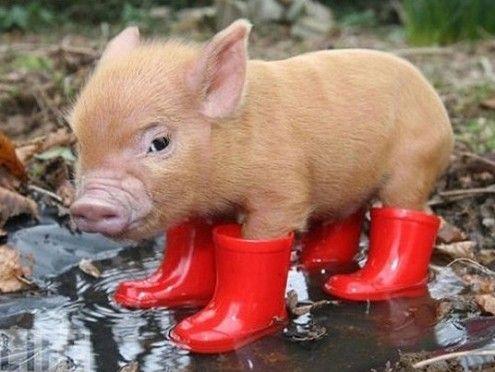 Schwein mit Gummistiefeln