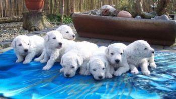 Donde Comprar un Komondor http://www.mascotadomestica.com/criaderos-de-perros/donde-comprar-un-komondor.html