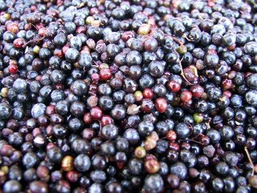 Into the Forest: Exploring Elderberry » The Medicine Woman's Roots