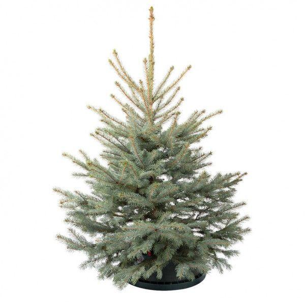 Pflanzen Kölle Blaufichte Geschlagen, 125/150 Cm. Frisch Geschlagener  Weihnachtsbaum Für Ein