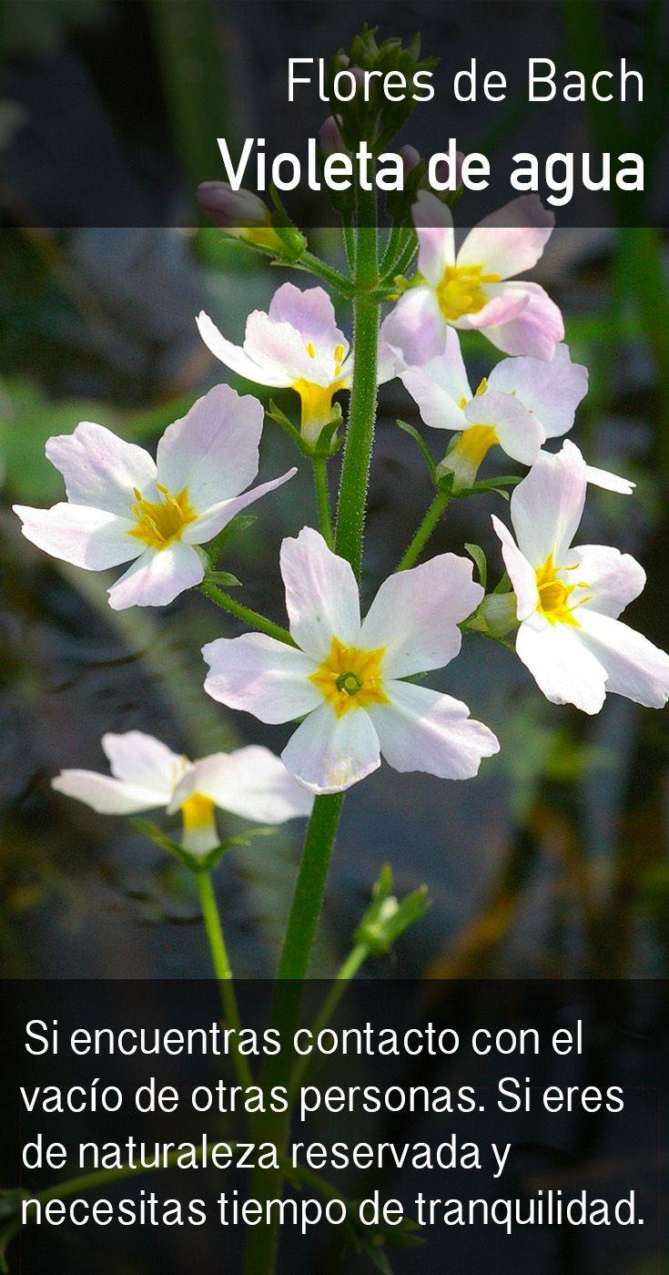 La violeta de agua alienta un flujo de energía más libre, permitiendo el goce de la compañía de otros y sentirse más cerca de las personas sin sacrificar el sentido propio ni la independencia.