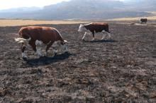 Alpine grazing: does it reduce blazing? | Ecological Society of Australia