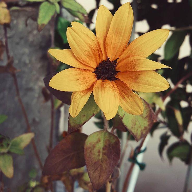Monday morning: surprise! #gardeninginthecity  #sunflower #vsco