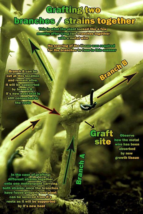 Cannabis marijuana plant graft