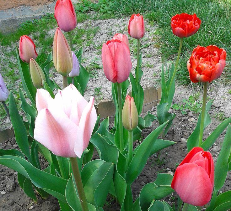Tulipán fejek közelről #tulipán #virág #piros #zöld #tavasz