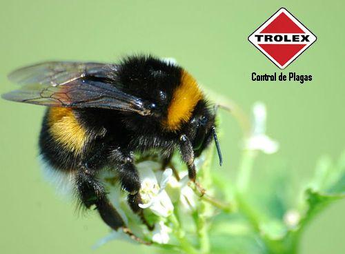 La respuesta es Si.  Tal como otras especies de abejas los abejorros poseen un aguijon con el que  pueden inducir una picadura si se sienten amenazados, pero estos insectos, son más que un riesgo, a continuación analizaremos  algunas caracteristicas a tener en cuenta antes de aplicar alguna medida de control:
