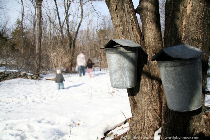 maple sugaring! step 1 how we make maple syrup + free printables