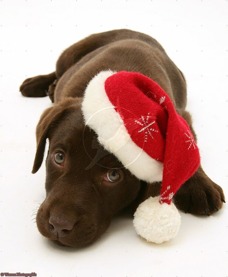 Chocolate Labrador Retriever Merry Christmas Card Puppy Holiday Dogs Santa Claus Dog Puppies Xmas Lab Labs