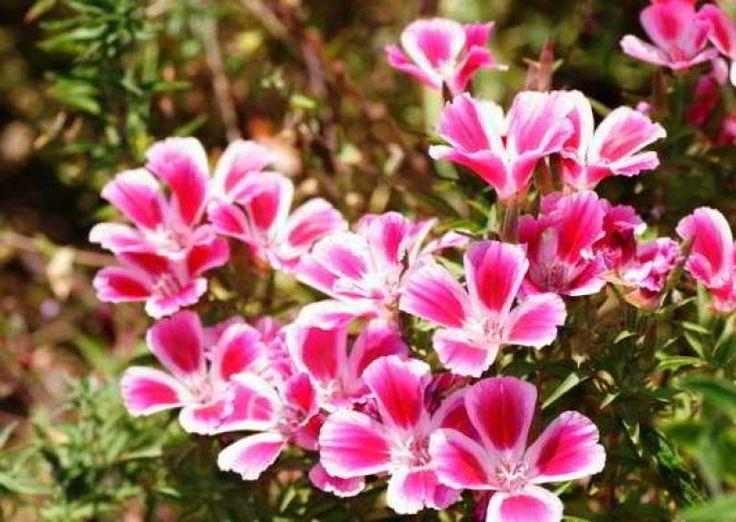 цветы кларкия на клумбе   Цветы, Однолетние растения, Растения