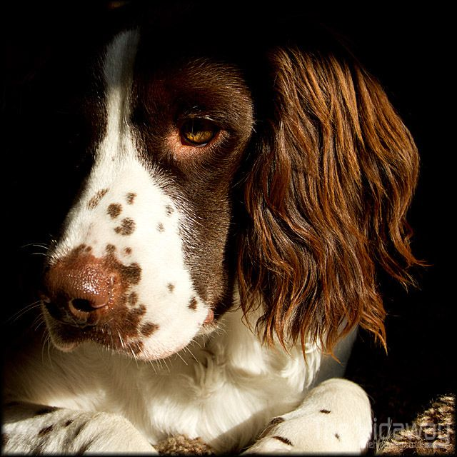 'The Manor' - Flying away on a Springer Spaniel's ears... 'Poppits' - A Short Story by Bob Le Vaillant. bob@levaillantowen.com