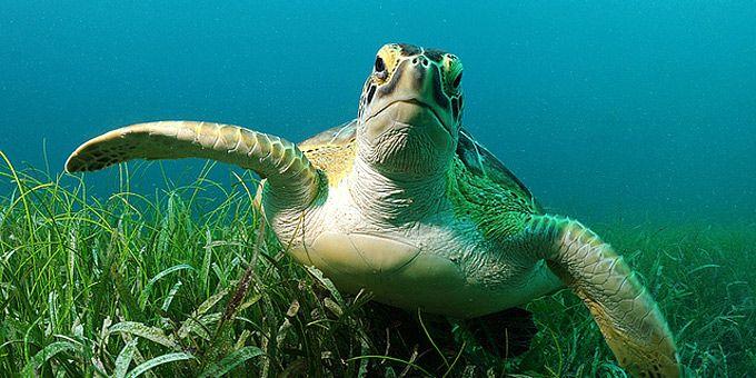 Μια θαλάσσια χελώνα παίζει με τον φακό -   Φωτογραφική μαγεία από τους βυθούς των ωκεανών