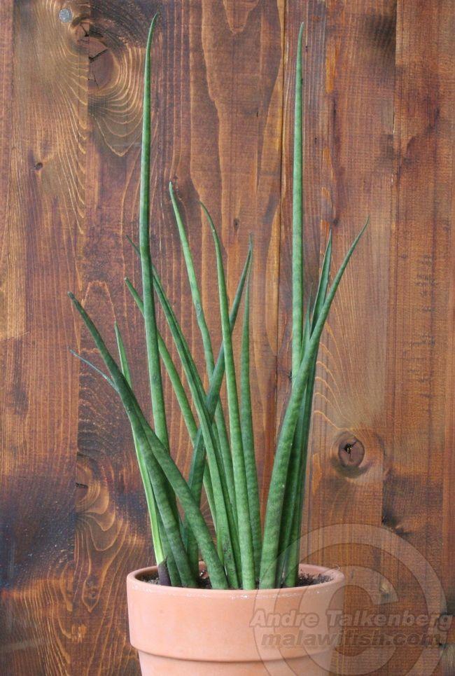 15 besten zimmerpflanzen bilder auf pinterest zimmerpflanzen sukkulenten und blumen. Black Bedroom Furniture Sets. Home Design Ideas