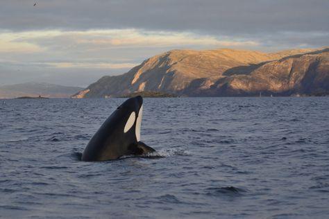 Nous tenons à remercier Tromso Safari , Visit Norway, Visit Tromso,Thon Hotels et Northern Norway pour nous donner l'occasion de découvrirles orques et les baleines.  L'aventure commence l...