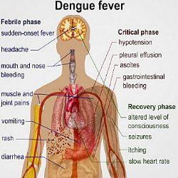 Dengue menace essay