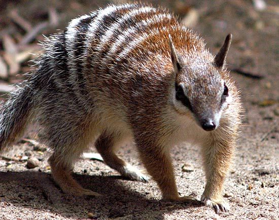 Numbat Australia ~ Endangered animals | Endangered animals | News.com.au